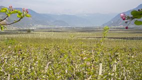 Landscape of fruit plantations in Trentino Alto Adige, Italy. Spring time. Green landscape. Landscape of fruit plantations in Trentino Alto Adige, Sud Tyrol royalty free stock images