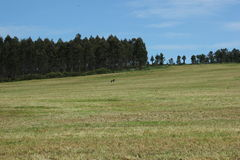 Landscape Galicia. Pasture in center of Galicia, over transformed serpentine soils Royalty Free Stock Photography