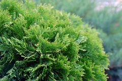 Landscape gardening, cypress, dwarf fir stock photography