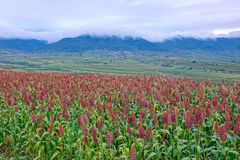 Sorghum field scenery. The landscape of gentle hills with many sorghum field royalty free stock images