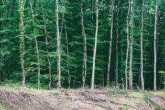 Landscape with glades and orderly rows of trees in a dense forest. Summer landscape with glades and orderly rows of trees in a dense forest Stock Photos