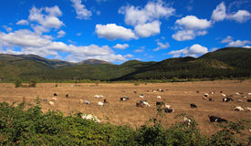Landscape with goats Royalty Free Stock Photography