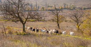 Landscape with goats Royalty Free Stock Image