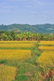 Landscape golden rice field mountain. And blue sky Royalty Free Stock Photos