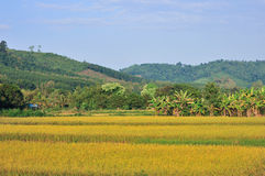 Landscape golden rice field mountain. And blue sky Stock Photos