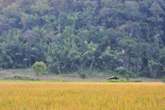 Landscape golden rice field mountain. Forest Stock Images