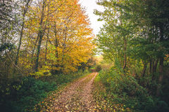 Landscape with golden trees in the fall. With autumn leaves covering a curvy trail in the forest Stock Photography