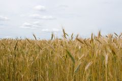 Landscape with golden wheat field Stock Photography