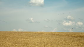 Landscape with golden wheat field under blue sky stock footage