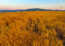 Landscape of golden wheat Royalty Free Stock Photos