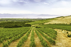 Landscape of grape fields Stock Images