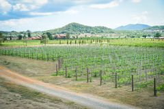Landscape grape vine growing in the vineyards planting farm agriculture royalty free stock photos