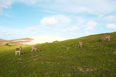 Landscape with grass, blue sky, sand dune and donk. Donkeys feeding on green grass. In the back - sand dune. Blue sky Royalty Free Stock Photos