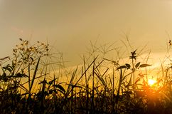 Landscape of grass and flower with yellow sky in morning. And sunrise and Background by grass flower royalty free stock photos