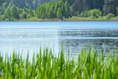 Landscape grass grows against the background of the water of the lake and the forest in summer, the swan, copy space. Landscape grass grows against background of stock photo