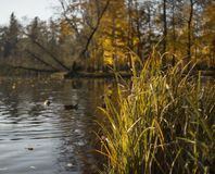Grass close-up sunlight landscape water lake reflection nature sunlight yellow leaves blue sky autumn. Landscape grass water lake reflection nature park royalty free stock images