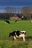 Landscape with grassland and cows Royalty Free Stock Photography