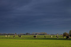 Landscape with grassland and cows Stock Photo