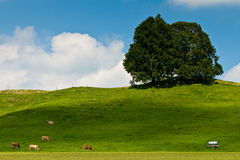 Landscape of grassland with trees, cows and hill. On a sunny day Stock Photos