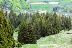 Landscape of grassy valley, row of green fir-trees and hills Stock Images