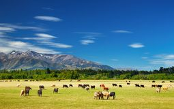 Landscape with grazing cows. New Zealand landscape with farmland and grazing cows Royalty Free Stock Photo