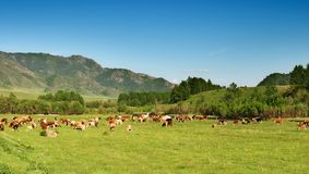 Landscape with grazing cows Royalty Free Stock Image