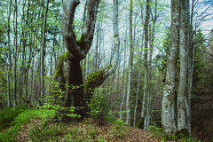 Landscape of great mystery forest. In spring in the cloudy day Royalty Free Stock Photography