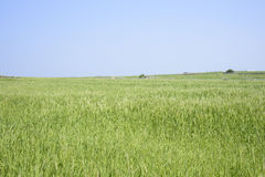 Landscape of green barley field Royalty Free Stock Image