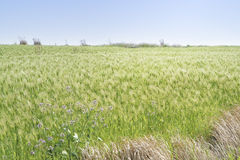 Landscape of green barley field Stock Images