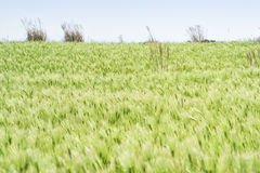 Landscape of green barley field Royalty Free Stock Images