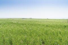 Landscape of green barley field Stock Photo