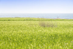 Landscape of green barley field Stock Photography