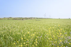 Landscape of green barley field and yellow canola flowers Royalty Free Stock Images