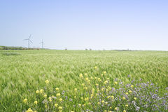 Landscape of green barley field and yellow canola flowers Stock Photos