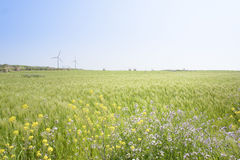 Landscape of green barley field and yellow canola flowers Stock Images