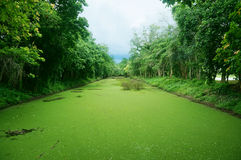 Landscape of green canal covered by mosquito fern. A photo of landscape of the green canal covered by mosquito fern at the green forest at Si Satchanalai royalty free stock photos