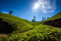 Landscape with green fields of tea in Sri Lanka Stock Photos