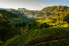 Landscape with green fields of tea Royalty Free Stock Image