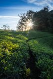 Landscape with green fields of tea Stock Photos
