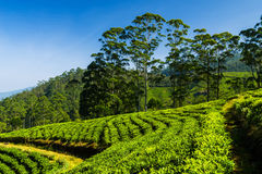 Landscape with green fields of tea in Sri Lanka Royalty Free Stock Photo