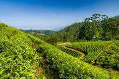 Landscape with green fields of tea in Sri Lanka Stock Image