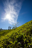 Landscape with green fields of tea in Sri Lanka Royalty Free Stock Photography