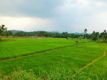 Landscape with green fields of tea in Sri Lanka Stock Photos