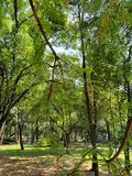 landscape with green foliage of the trees of temperate forest royalty free stock images