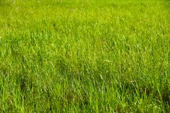 Landscape green grass on the field in the sun, background, summer royalty free stock photography