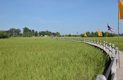 Landscape of green  paddy rice fields. Landscape of green  paddy rice fields with  beautiful sidewalk  bridge in the morning in Thailand Stock Images
