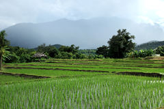 Landscape green rice field in countryside, Chiang Mai, Thailand Stock Photo