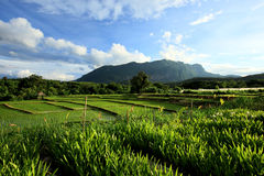 Landscape green rice field in countryside, Chiang Mai, Thailand Stock Photos