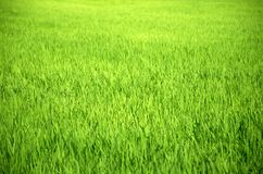Landscape green rice fields are beautiful stock photo