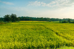 Landscape  green rice fields in evening Royalty Free Stock Photo
